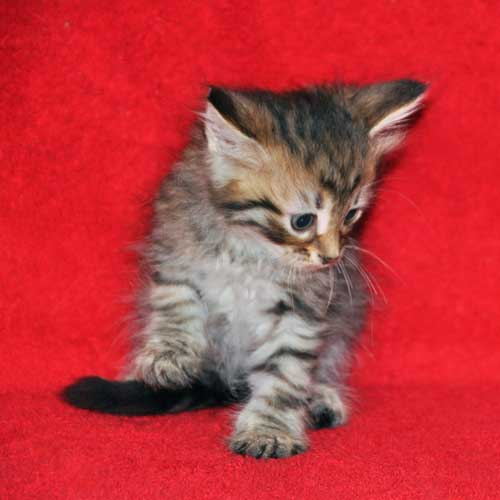 hypoallergenic cats for sale quebec