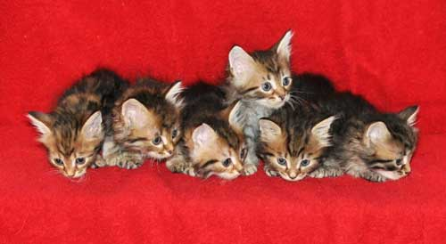 hypoallergenic cats for sale whitehorse