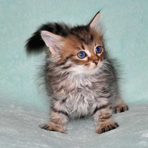 siberian cat for sale calgary