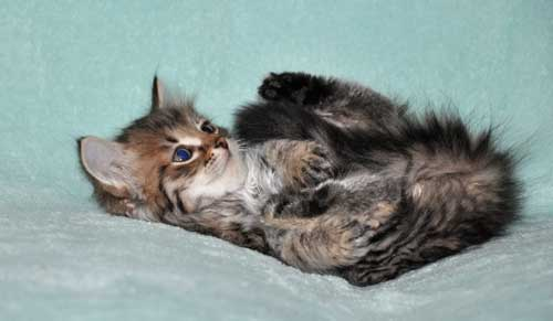 siberian cat for sale edmonton