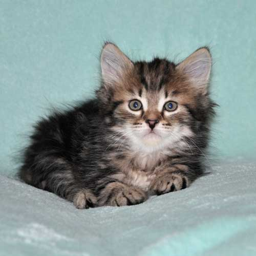 siberian cat for sale montreal