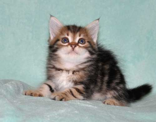 siberian cat for sale ontario