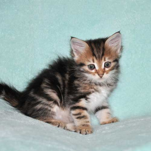siberian cat for sale ottawa