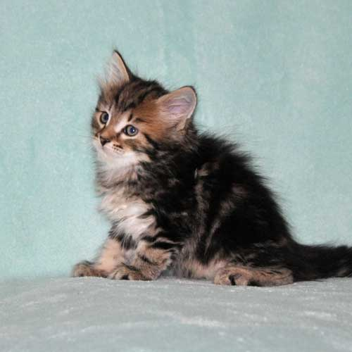 siberian cat for sale quebec