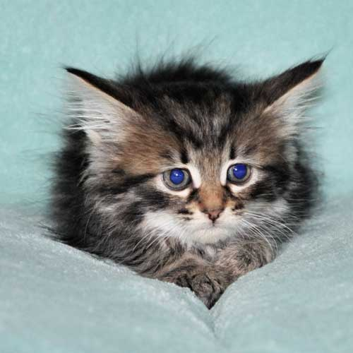 siberian kitten for sale from breeder montreal