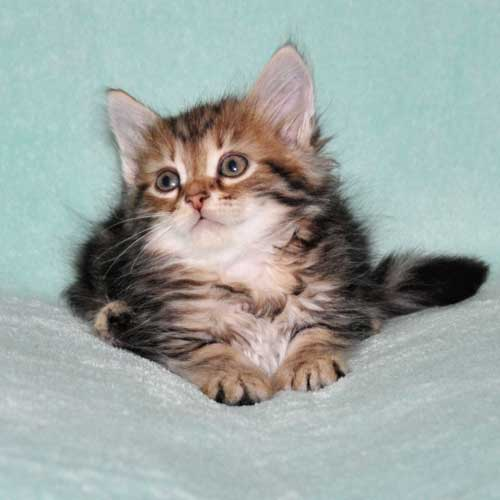 siberian kitten for sale from breeder ontario