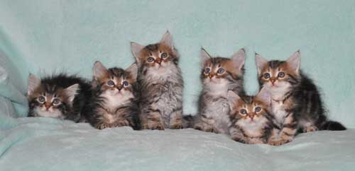 siberian kitten for sale from breeder ottawa