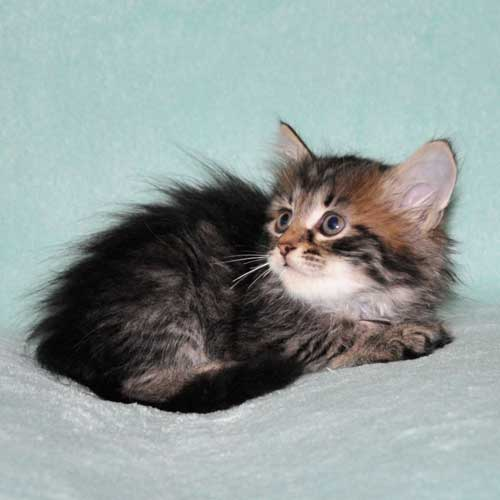siberian kitten for sale from breeder quebec