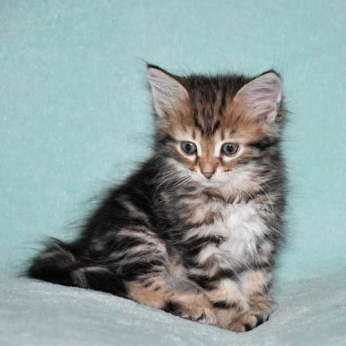 siberian kitten for sale from breeder toronto