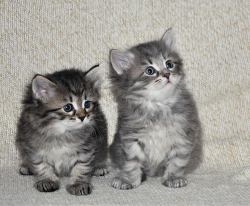 siberian kittens for sale quebec