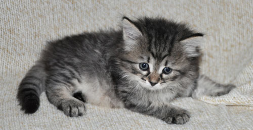 siberian kittens for sale toronto