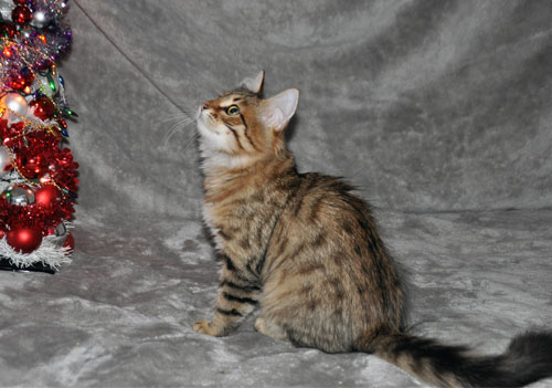 hypoallergenic kitten for sale gatineau