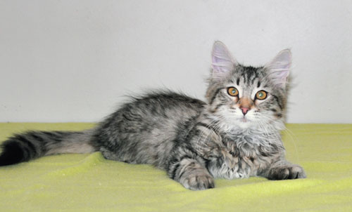 Siberian kitten for sale Canada
