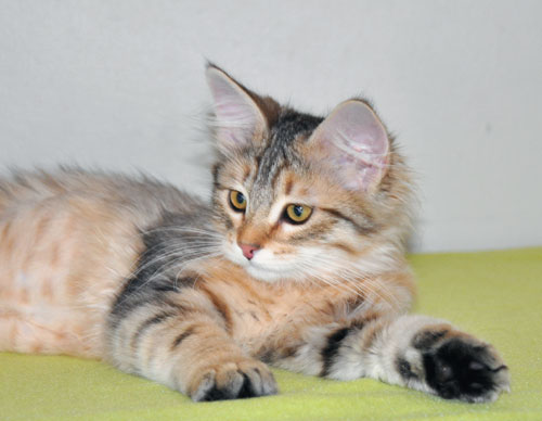 Siberian kitten for sale GTA