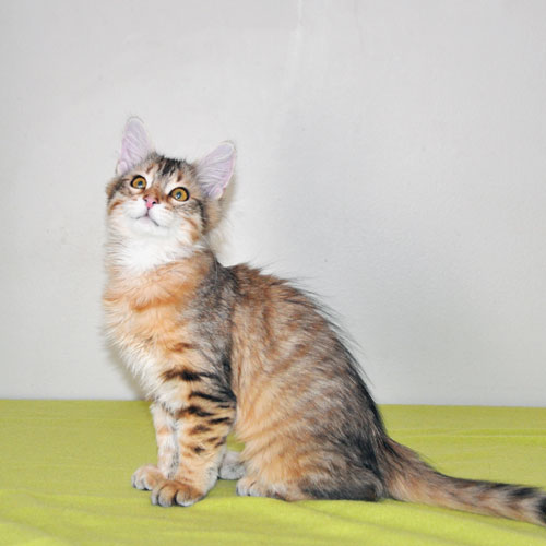 Siberian kitten for sale Kingston