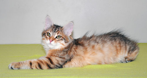 Siberian kitten for sale Ottawa