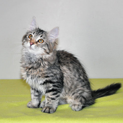 Siberian kitten for sale Vancouver