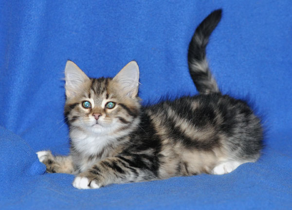 siberian kitten winnipeg