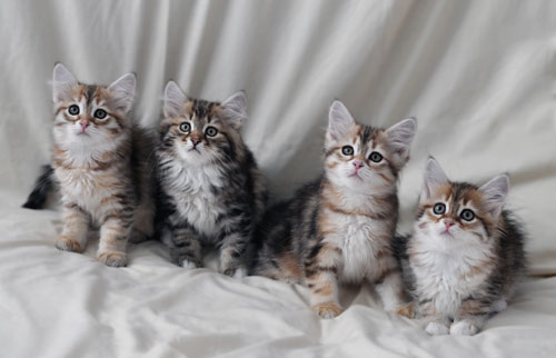 siberian kittens for sale