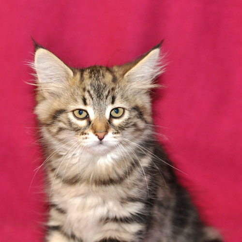 siberian kitten british columbia