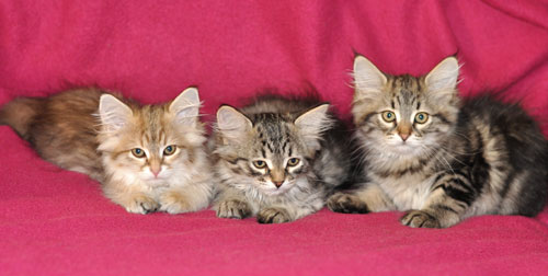 siberian kittens for sale montreal